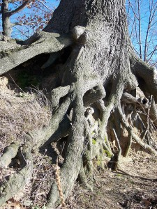 root picture by flutterby on flickr